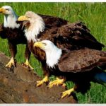 The Fierce Eagles-Ingman - Copy
